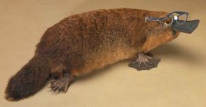 platypus2